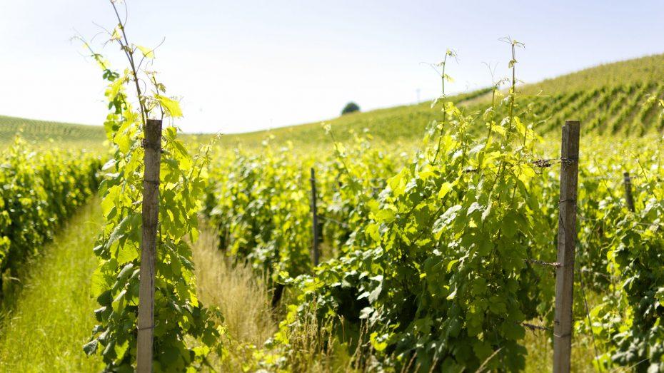 Weinfelder hinter Freiburg