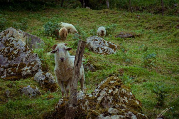 Schaf