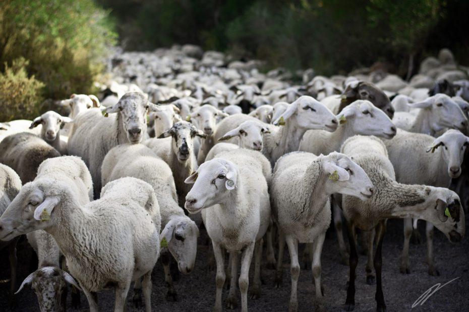Schafe auf der Vía Verde de la Sierra